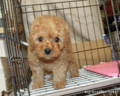 トイプードルの子犬(ID:1252911015)の3枚目の写真/更新日:2018-11-05