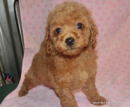 トイプードルの子犬(ID:1252911016)の1枚目の写真/更新日:2018-11-05