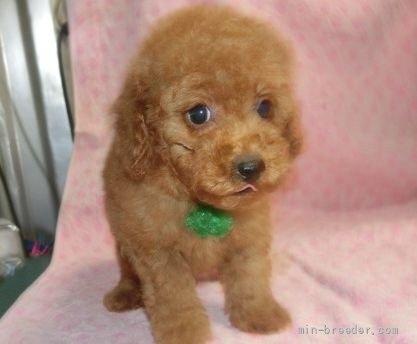 トイプードルの子犬(ID:1252911017)の1枚目の写真/更新日:2018-11-05