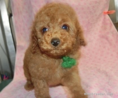 トイプードルの子犬(ID:1252911017)の4枚目の写真/更新日:2021-08-16