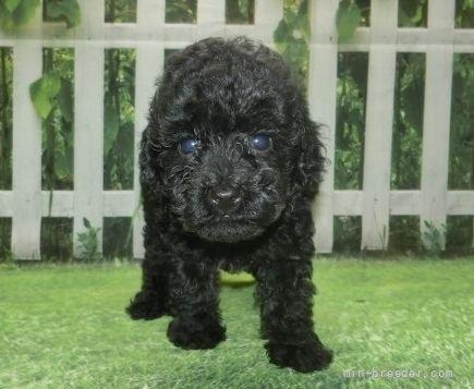トイプードルの子犬(ID:1252911018)の1枚目の写真/更新日:2021-08-24