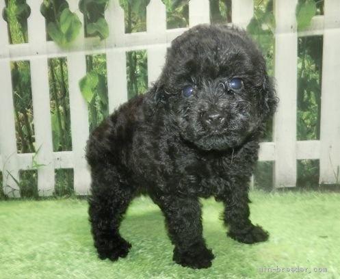 トイプードルの子犬(ID:1252911018)の2枚目の写真/更新日:2021-08-24
