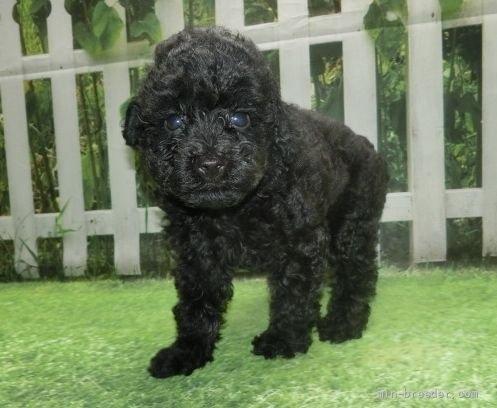 トイプードルの子犬(ID:1252911018)の3枚目の写真/更新日:2021-08-24