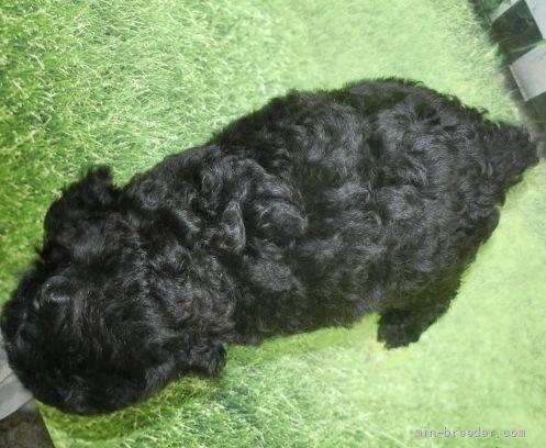 トイプードルの子犬(ID:1252911018)の4枚目の写真/更新日:2021-08-24