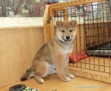 柴犬の子犬(ID:1252911022)の1枚目の写真/更新日:2018-08-08