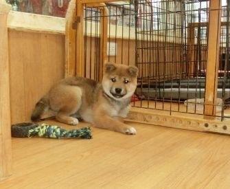 柴犬の子犬(ID:1252911022)の2枚目の写真/更新日:2018-08-08