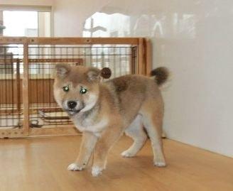 柴犬の子犬(ID:1252911022)の3枚目の写真/更新日:2018-08-08