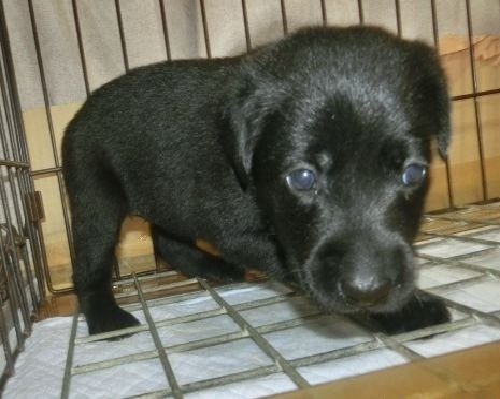 ラブラドールレトリバーの子犬(ID:1252911023)の2枚目の写真/更新日:2018-09-06