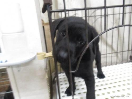 ラブラドールレトリバーの子犬(ID:1252911024)の2枚目の写真/更新日:2018-12-30