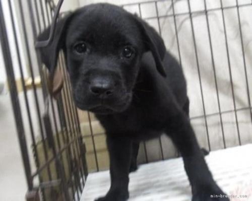 ラブラドールレトリバーの子犬(ID:1252911024)の3枚目の写真/更新日:2018-12-30