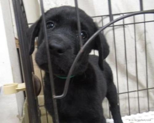 ラブラドールレトリバーの子犬(ID:1252911024)の4枚目の写真/更新日:2021-03-22
