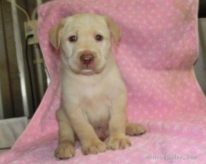 ラブラドールレトリバーの子犬(ID:1252911025)の1枚目の写真/更新日:2019-09-18