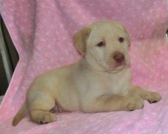 ラブラドールレトリバーの子犬(ID:1252911025)の2枚目の写真/更新日:2019-09-18
