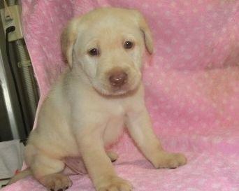 ラブラドールレトリバーの子犬(ID:1252911025)の3枚目の写真/更新日:2019-09-18
