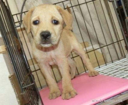 ラブラドールレトリバーの子犬(ID:1252911026)の1枚目の写真/更新日:2018-12-30