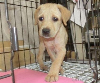 ラブラドールレトリバーの子犬(ID:1252911026)の2枚目の写真/更新日:2018-12-30