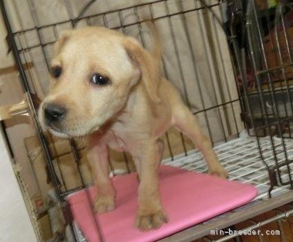 ラブラドールレトリバーの子犬(ID:1252911026)の3枚目の写真/更新日:2018-12-30