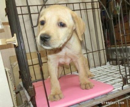 ラブラドールレトリバーの子犬(ID:1252911026)の4枚目の写真/更新日:2018-12-30