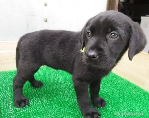 ラブラドールレトリバーの子犬(ID:1252911027)の2枚目の写真/更新日:2019-01-07