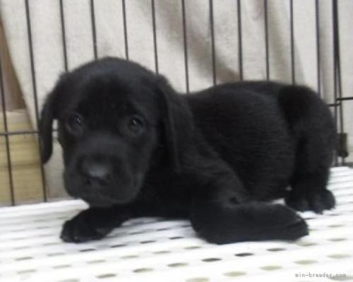 ラブラドールレトリバーの子犬(ID:1252911027)の3枚目の写真/更新日:2019-01-07