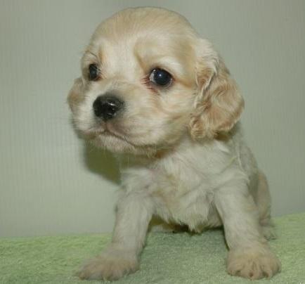 アメリカンコッカースパニエルの子犬(ID:1252911029)の1枚目の写真/更新日:2018-10-19