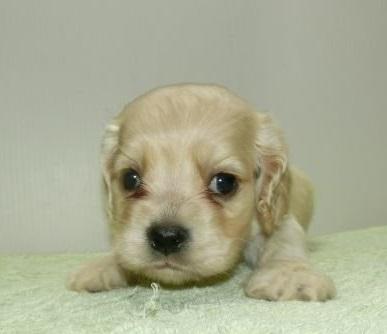 アメリカンコッカースパニエルの子犬(ID:1252911029)の2枚目の写真/更新日:2018-10-19