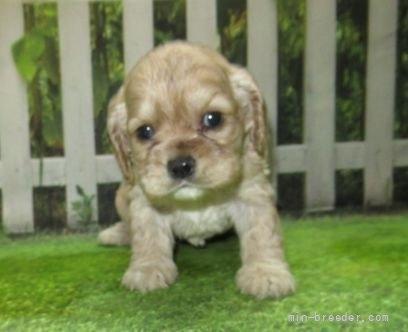 アメリカンコッカースパニエルの子犬(ID:1252911030)の1枚目の写真/更新日:2021-07-31