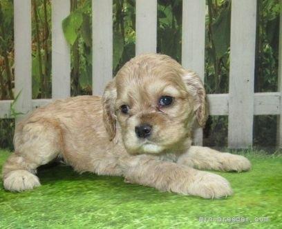アメリカンコッカースパニエルの子犬(ID:1252911030)の2枚目の写真/更新日:2021-07-31