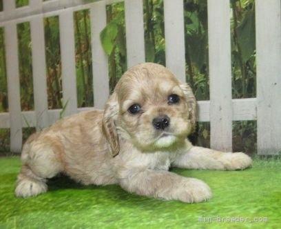 アメリカンコッカースパニエルの子犬(ID:1252911030)の3枚目の写真/更新日:2021-07-31