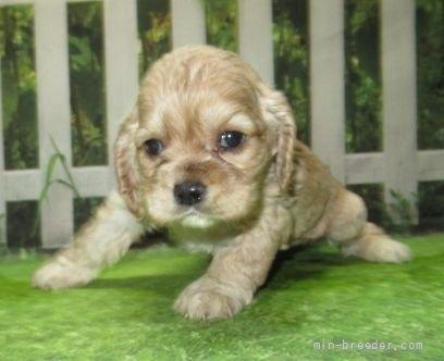 アメリカンコッカースパニエルの子犬(ID:1252911030)の4枚目の写真/更新日:2021-07-31