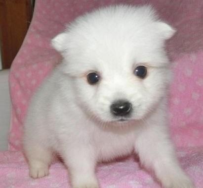 日本スピッツの子犬(ID:1252911039)の1枚目の写真/更新日:2018-07-24