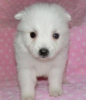 日本スピッツの子犬(ID:1252911039)の2枚目の写真/更新日:2018-07-24