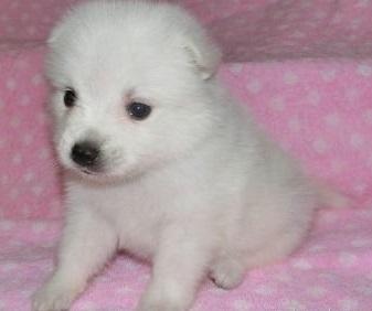 日本スピッツの子犬(ID:1252911040)の1枚目の写真/更新日:2018-07-24