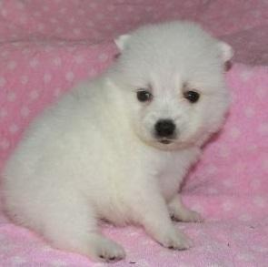 日本スピッツの子犬(ID:1252911040)の2枚目の写真/更新日:2018-07-24