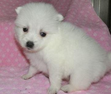 日本スピッツの子犬(ID:1252911040)の3枚目の写真/更新日:2018-07-24