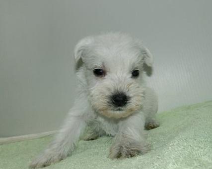 ミニチュアシュナウザーの子犬(ID:1252911042)の2枚目の写真/更新日:2019-02-18