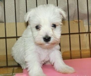 ミニチュアシュナウザーの子犬(ID:1252911044)の1枚目の写真/更新日:2019-03-01