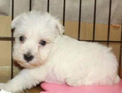 ミニチュアシュナウザーの子犬(ID:1252911044)の3枚目の写真/更新日:2019-03-01