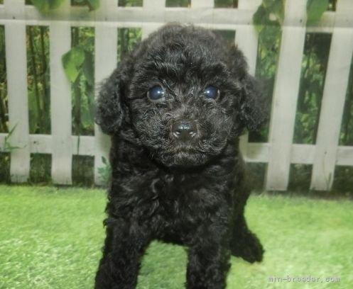 トイプードルの子犬(ID:1252911051)の1枚目の写真/更新日:2021-08-24