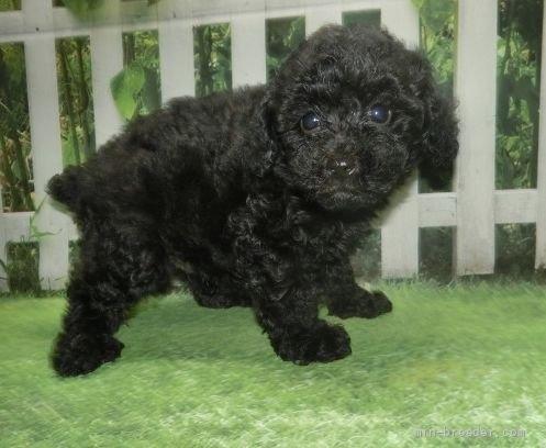 トイプードルの子犬(ID:1252911051)の2枚目の写真/更新日:2021-08-24