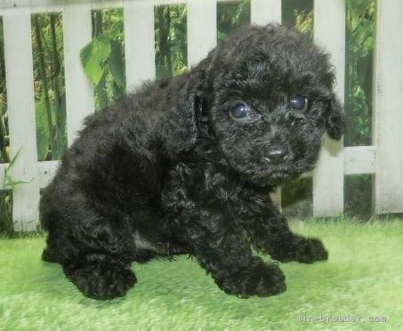 トイプードルの子犬(ID:1252911051)の3枚目の写真/更新日:2021-08-24