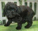 トイプードルの子犬(ID:1252911051)の5枚目の写真/更新日:2021-08-24