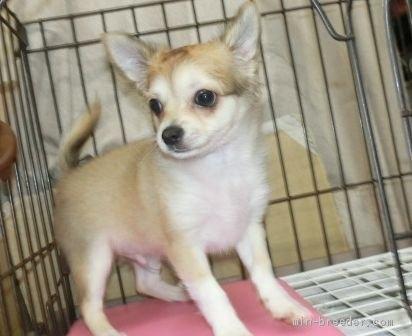 チワワ(ロング)の子犬(ID:1252911052)の1枚目の写真/更新日:2018-09-22