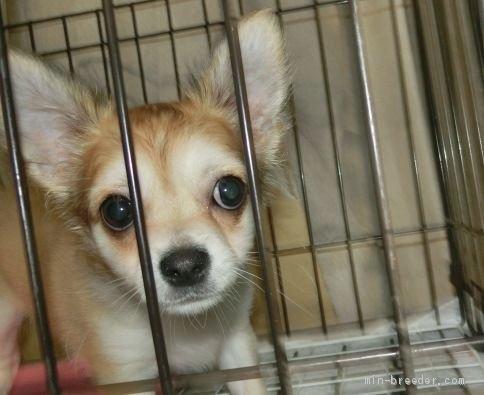 チワワ(ロング)の子犬(ID:1252911052)の3枚目の写真/更新日:2018-09-22