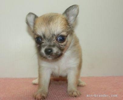 チワワ(ロング)の子犬(ID:1252911053)の1枚目の写真/更新日:2019-06-11