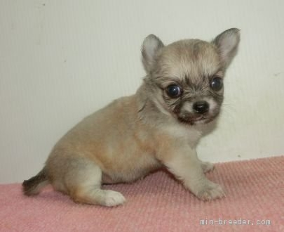 チワワ(ロング)の子犬(ID:1252911053)の2枚目の写真/更新日:2019-06-11