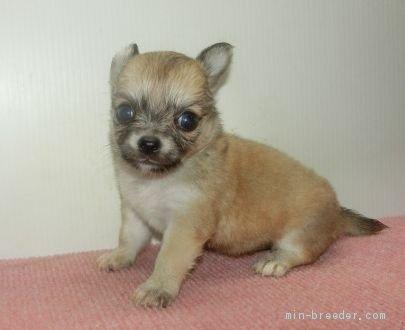 チワワ(ロング)の子犬(ID:1252911053)の3枚目の写真/更新日:2019-06-11