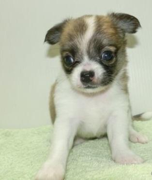 チワワ(ロング)の子犬(ID:1252911055)の1枚目の写真/更新日:2018-09-22