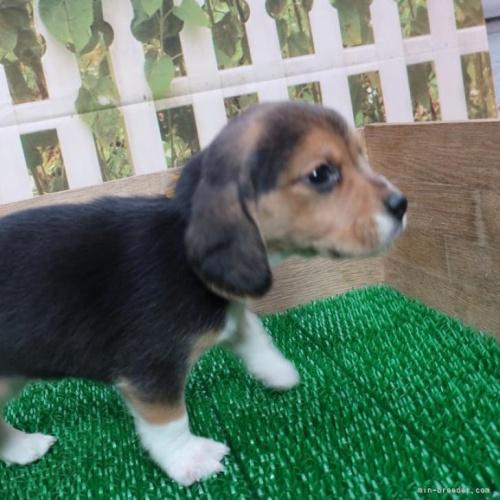 ビーグルの子犬(ID:1252911056)の5枚目の写真/更新日:2018-07-02