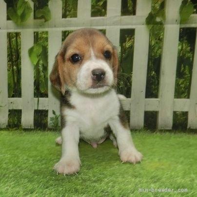 ビーグルの子犬(ID:1252911057)の2枚目の写真/更新日:2018-08-20